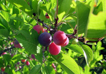 Load image into Gallery viewer, Beach Plum