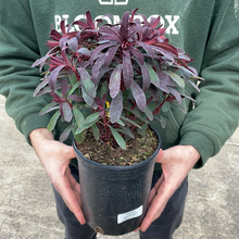 Load image into Gallery viewer, Euphorbia 'Miner's Merlot'