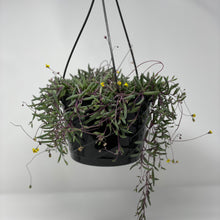 Load image into Gallery viewer, Othonna Capensis 'Ruby Necklace' - Hanging Basket