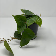 Load image into Gallery viewer, Philodendron 'Cordatum'
