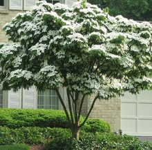 Load image into Gallery viewer, Kousa Flowering Dogwood