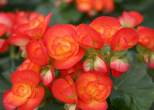 Load image into Gallery viewer, Begonia Carneval