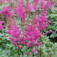Load image into Gallery viewer, Astilbe 'Maggie Daley'