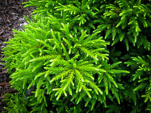 Load image into Gallery viewer, Cryptomeria 'Gyokuryu'