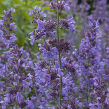 Load image into Gallery viewer, Nepeta 'Walkers Low'