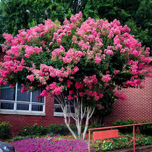 Load image into Gallery viewer, Crape Myrtle 'Pink Velour'