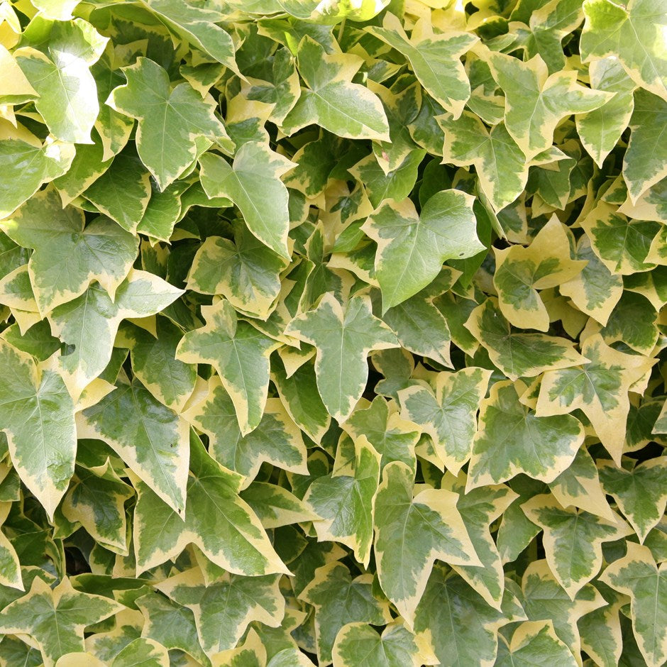 Hedera Ivy 'Gold Child'