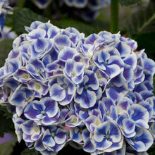 Load image into Gallery viewer, Hydrangea 'Cityline Mars'