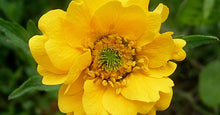 Load image into Gallery viewer, Geum 'Lady Stratheden'