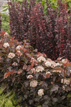 Load image into Gallery viewer, Physocarpus 'Coppertina' (Ninebark)