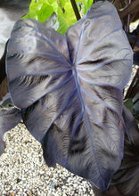 Load image into Gallery viewer, Colocasia 'Royal Hawaiian Black Coral' (Elephant Ears)