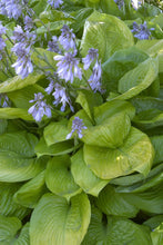Load image into Gallery viewer, Hosta 'Sum & Substance'