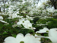Load image into Gallery viewer, Flowering Dogwood