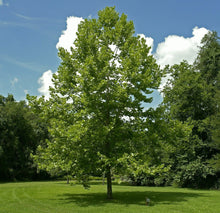 Load image into Gallery viewer, American Sycamore