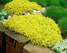 Load image into Gallery viewer, Sedum 'Golddigger'