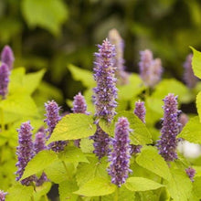 Load image into Gallery viewer, Agastache 'Golden Jubilee'