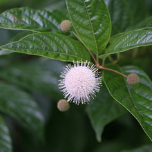 Load image into Gallery viewer, Buttonbush