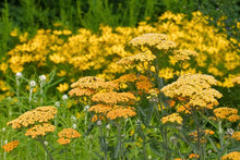 Load image into Gallery viewer, Achillea 'Terra Cotta'