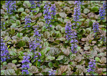 Load image into Gallery viewer, Ajuga 'Bronze Beauty'