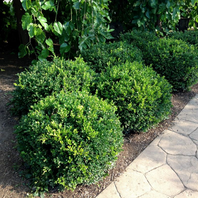 Boxwood 'Winter Gem'
