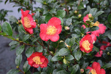 Load image into Gallery viewer, Camellia 'Yuletide'