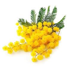 Mimosa Absolute Essential Oil