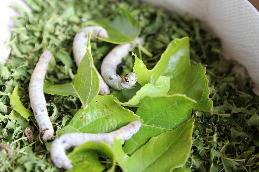 Silkworms feeding on mulberry leaves