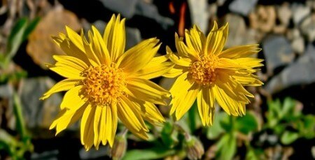 Arnica Healing Powers Rejuvenate Your Appearance