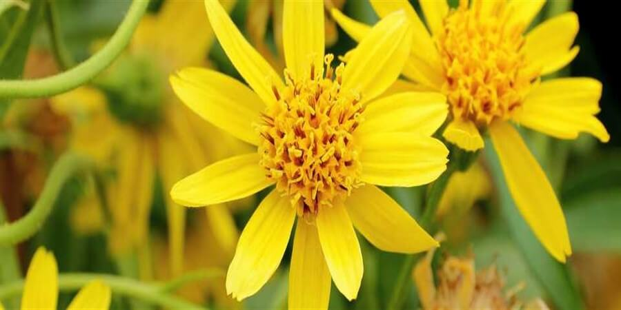 What Is Arnica And What Can It Do For Your Skin?