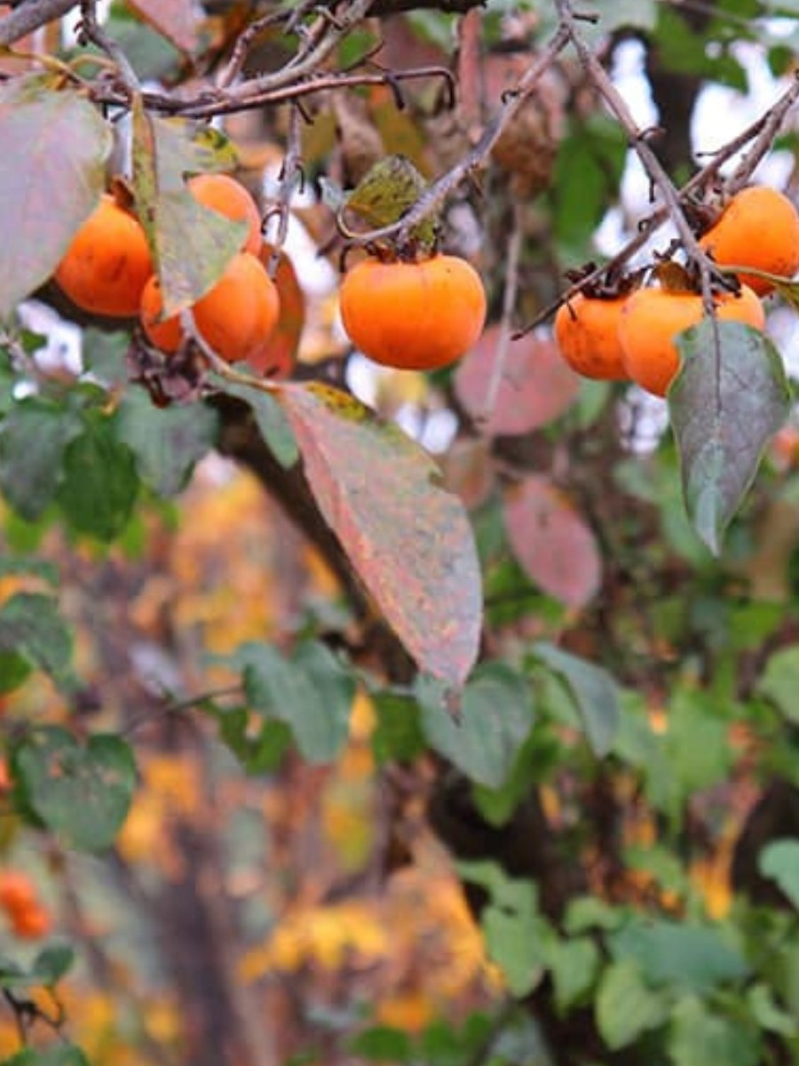American Persimmon <br> (Local Pickup Only) - Flowering Sun Nursery