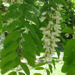 Black Locust - Flowering Sun Nursery