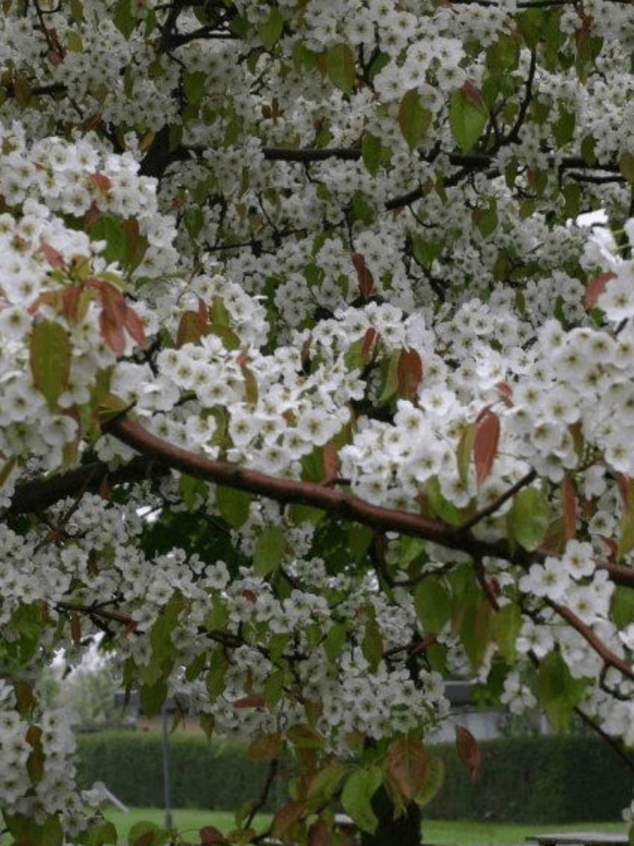 Chinese Pear - Flowering Sun Nursery