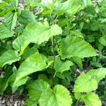 Red Mulberry 1-3' - Flowering Sun Nursery