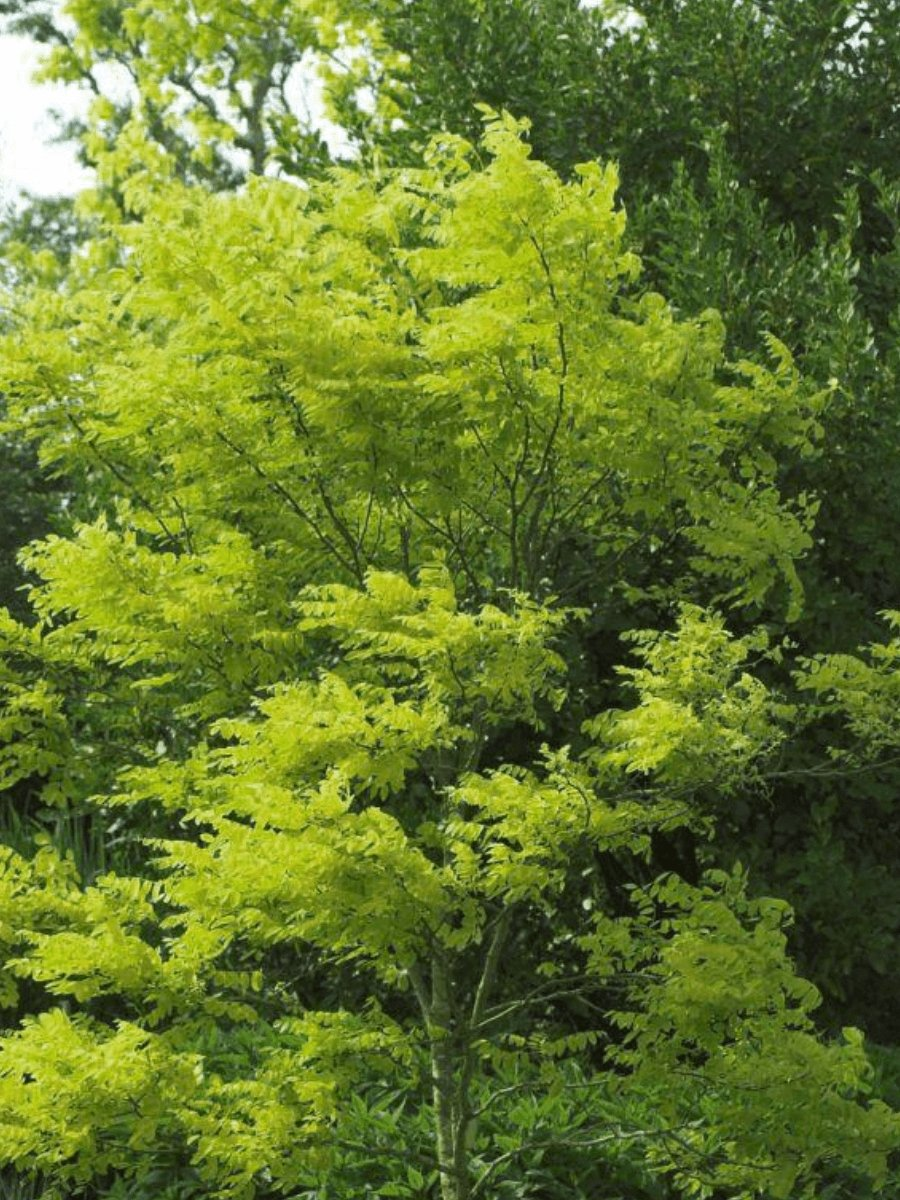 Thornless Honey Locust 1-2' - Flowering Sun Nursery