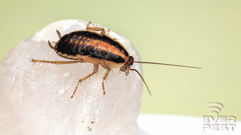 identify cockroach types in the US