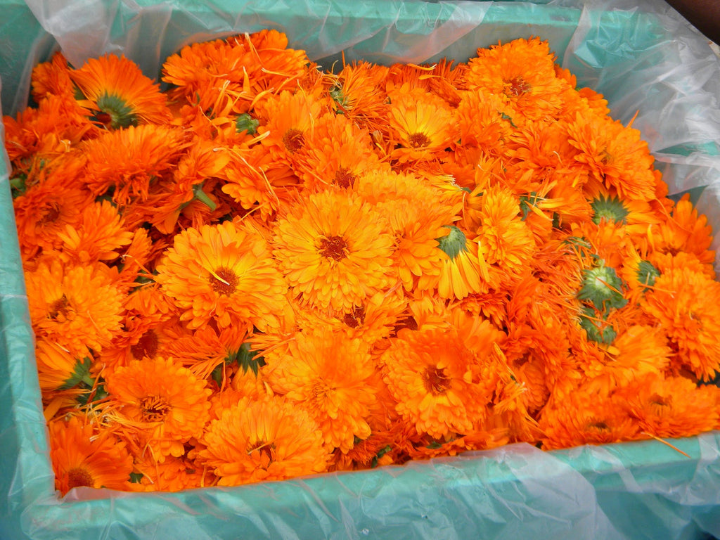 Herbal Spotlight - Calendula