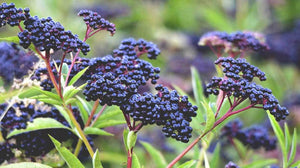 Herbal Spotlight - Elderberry