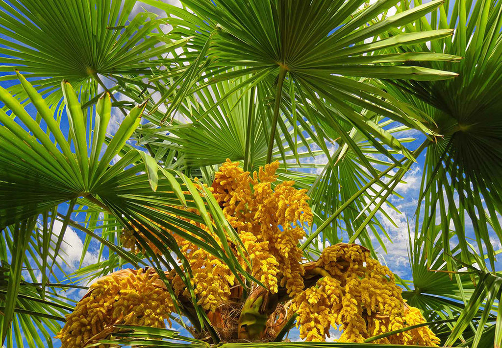 Arecaceae, The Palm Family