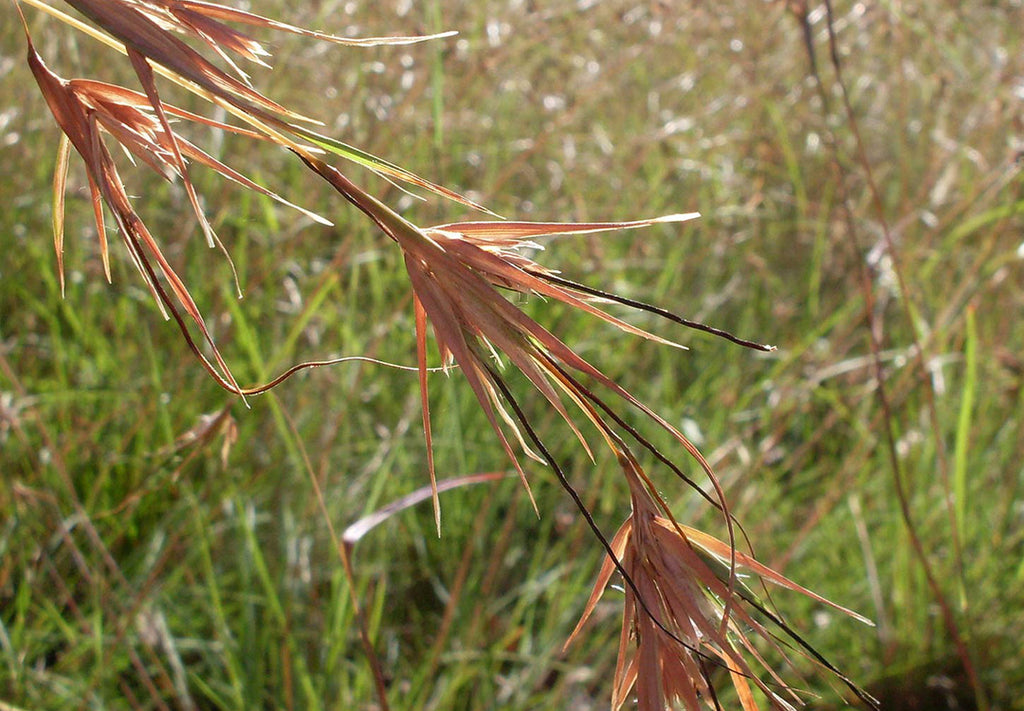 Poaceae, The Grass Family