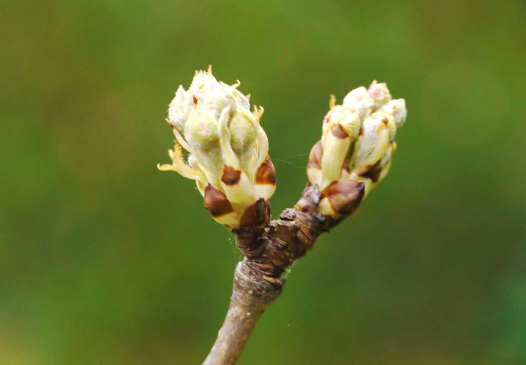 What Are Plant Buds?