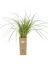 Pianta di Carex paniculata in vaso di cartone 9x9x20