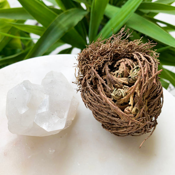 Rose of Jericho | Desert Rose |  Resurrection Flower | 2 Pack