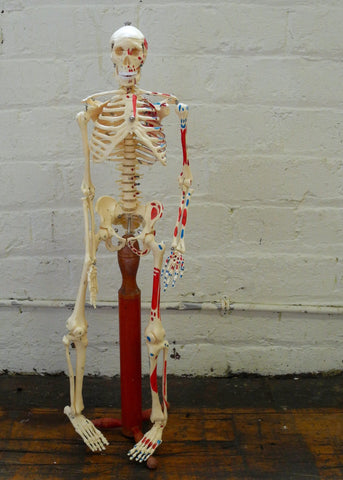 Anatomy Model Human Skeleton