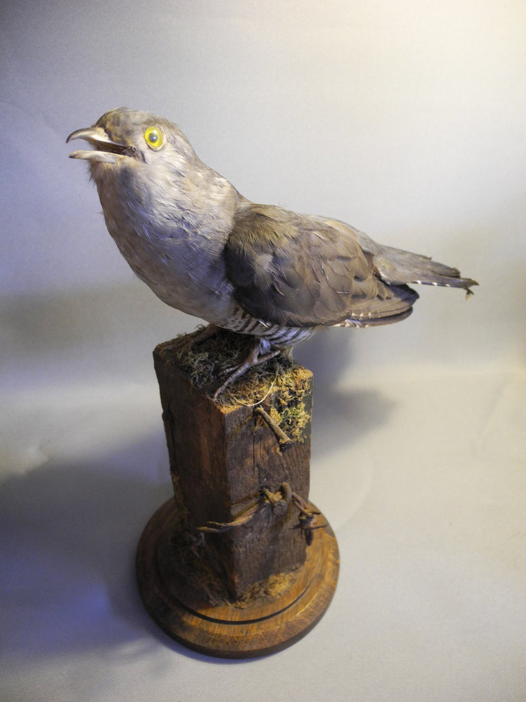 Grey male cuckoo taxidermy (coculus canorus)