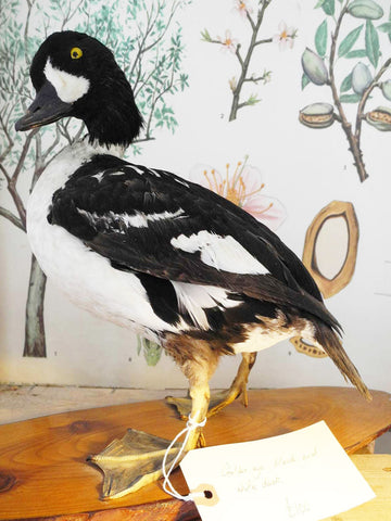 Taxidermy Goldeneye Duck