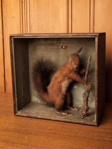 Victorian Red Squirrel