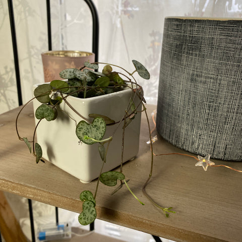 Mini Ceropegia Woodii | Baby plante