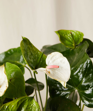 The Anthurium Lily