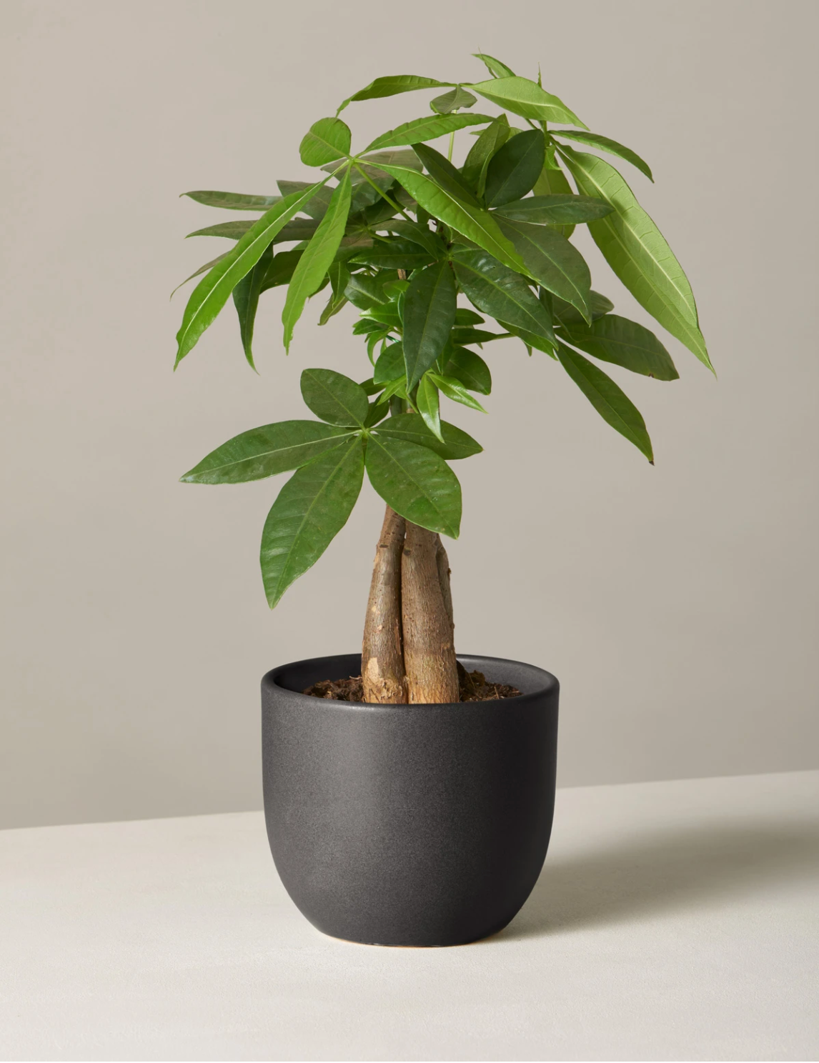 Mini Money Tree