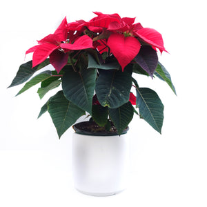 Poinsettia | Red 6.5""